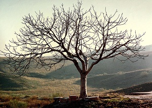 Barren Fig Tree